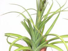 Curly Air Plant LARGE Tillandsia X Redy Shop Online Plants Airplant Specimen Sale_Air Plant Greenhouse Wholesale Air Plant International Shipping