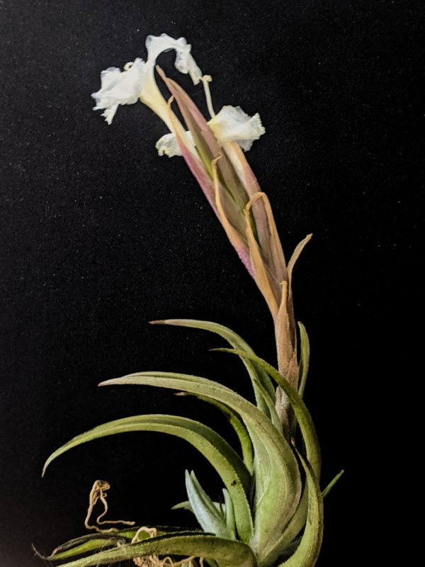 Fragrant Tillandsia Xiphioides White Flower Air Plant Rare Plants Collection Blooming Airplant International Shipping_Where To Buy Plants Online At Air Plant Greenhouse