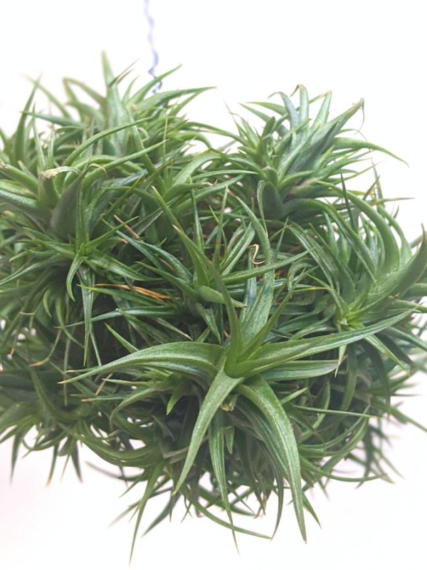 Tillandsia Aeranthos Miniata Air Plant Clump Hanging Air Plant Buy Plants Online At Air Plant Greenhouse International Shipping Available