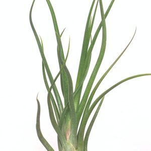 Curly Air Plants Tillandsia Bulbosa x Pueblensis Air Plant Greenhouse Online Wholesale