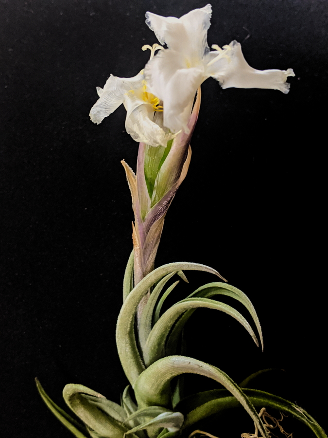 Tillandsia Xiphioides White Flower Rare Air Plant For Collectors Blooming Airplant International Shipping_Where To Buy Plants Online At Air Plant Greenhouse