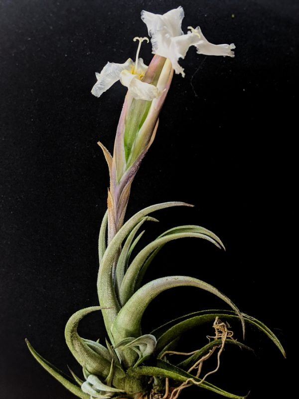 Tillandsia Xiphioides White Flower Air Plant Rare Plants Collection Blooming Airplant International Shipping_Air Plant Greenhouse