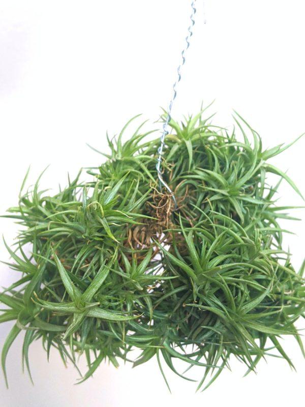 Wholesale Tillandsia Aeranthos Miniata Air Plant Clump Hanging Air Plant Buy Plants Online At Air Plant Greenhouse