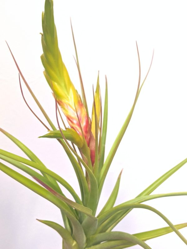 Tillandsia Concolor LARGE Air Plant Colorful Red And Green Plant Exotic Plants Collection
