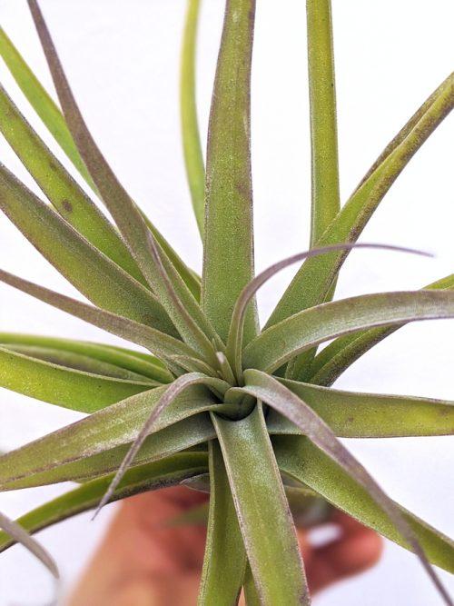 Large Tillandsia Latifolia Hybrid Big Plant Airplants Airplant Specimen At Air Plant Greenhouse