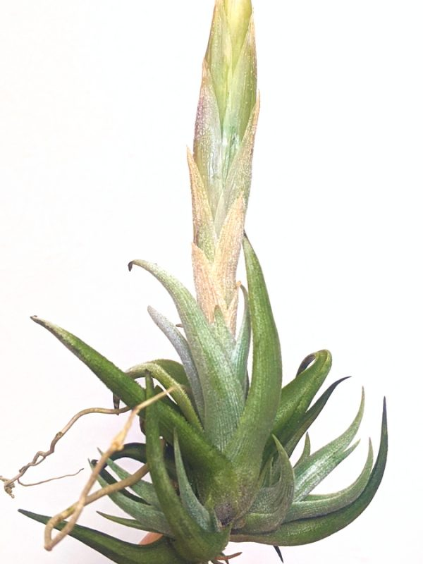 Tillandsia Xiphioides Rare Plants Collection Blooming Airplant International Shipping_Where To Buy Plants Online At Air Plant Greenhouse