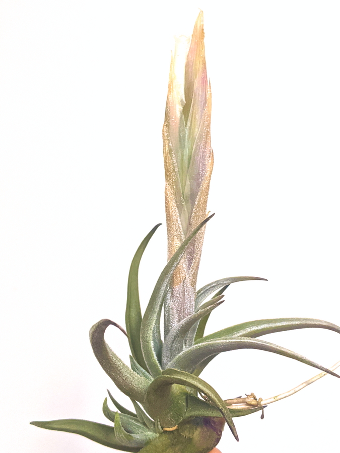 Air Plant Tillandsia Xiphioides White Flower Rare Plants Collection Blooming Airplant International Shipping Available To Singapore Malaysia_Where To Buy Plants Online At Air Plant Greenhouse
