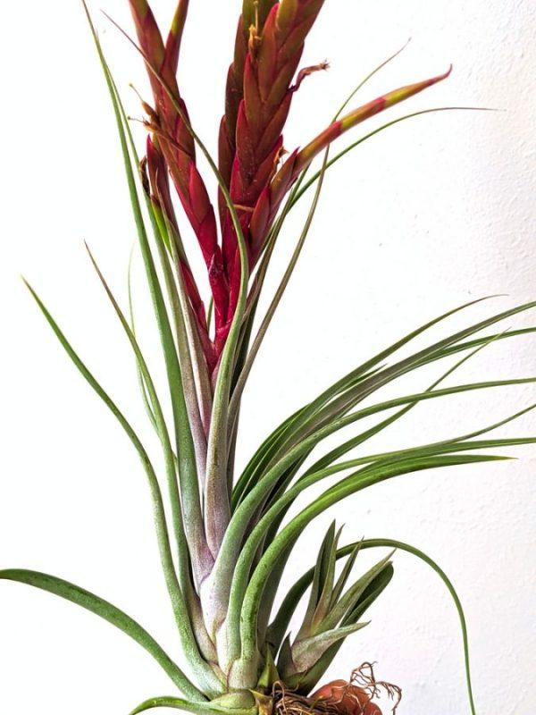 BLOOMING Tillandsia Concolor x Paucifolia LARGE Air Plant