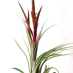 Large Air Plant Tillandsia Concolor x Paucifolia LARGE Air Plant BLOOMING