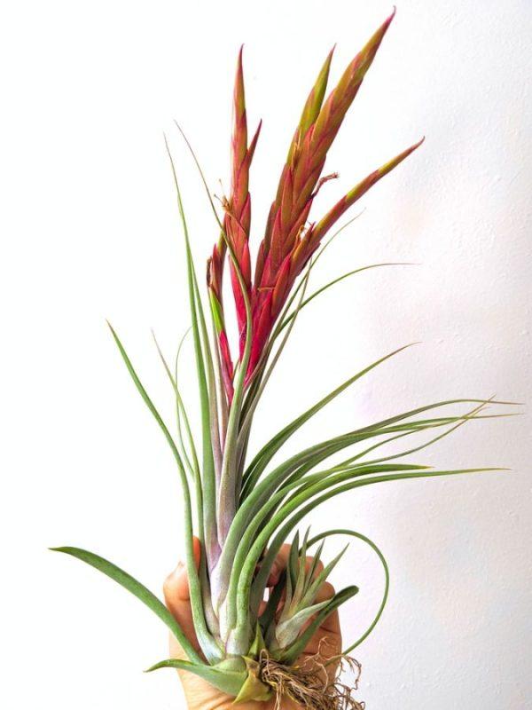 Wholesale Tillandsia Concolor x Paucifolia