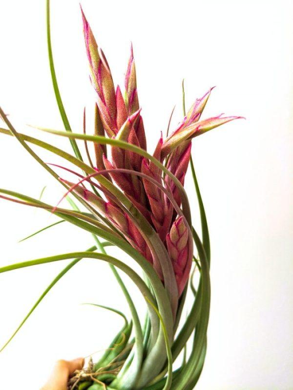 Tillandsia Concolor x Paucifolia Air Plant Greenhouse Airplant Sale Online