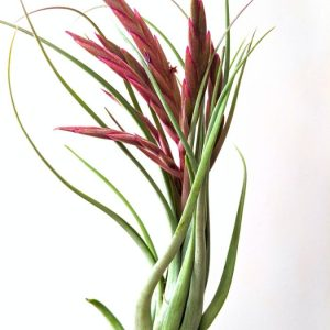 Red Pink Air Plant Tillandsia Concolor x Paucifolia